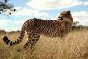 gepard i gresset