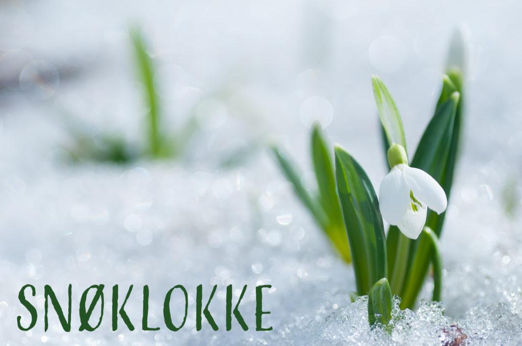 Foto av en snøklokke i snø. tekst i bildet: snøklokke